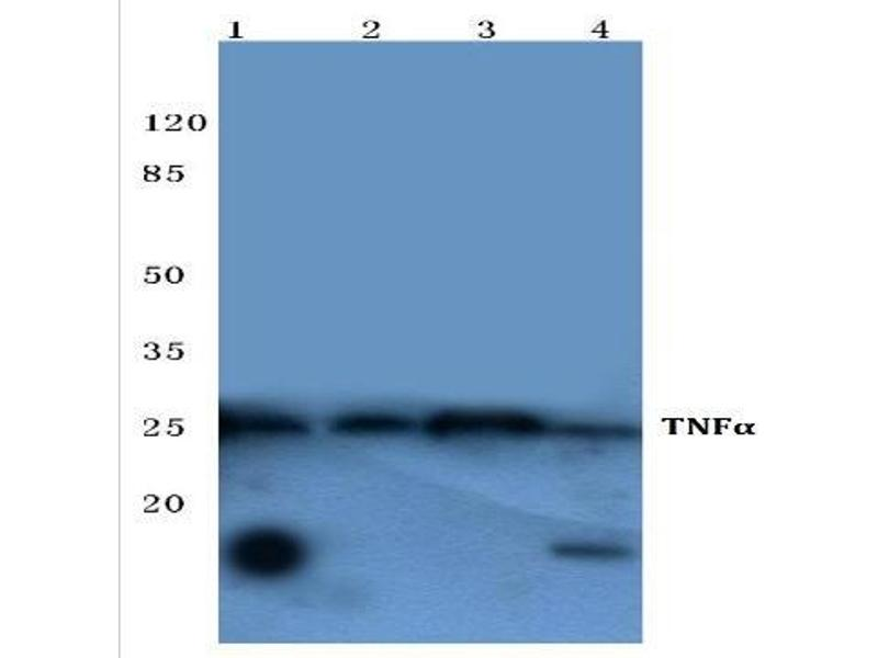 Western Blotting (WB) image for anti-Tumor Necrosis Factor antibody (TNF) (ABIN498271)