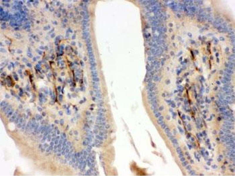 Image no. 3 for anti-Flotillin 2 (FLOT2) (AA 169-344) antibody (ABIN4951054)