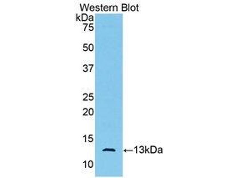 Western Blotting (WB) image for anti-Anti-Mullerian Hormone (AMH) (AA 447-553) antibody (ABIN1172631)