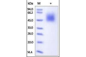 Image no. 1 for CD80 (CD80) (AA 35-242) (Active) protein (His tag) (ABIN2180841)