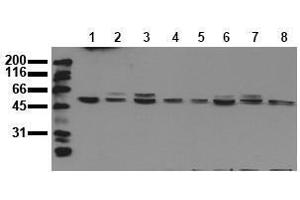 Western Blotting (WB) image for anti-MAPK9 antibody (Mitogen-Activated Protein Kinase 9) (ABIN126823)