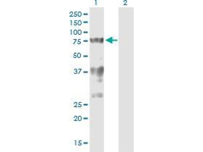 Western Blotting (WB) image for anti-Splicing Factor 1 (SF1) (AA 1-111) antibody (ABIN394721)