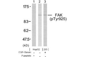 image for anti-FAK antibody (PTK2 Protein tyrosine Kinase 2) (pTyr925) (ABIN196824)