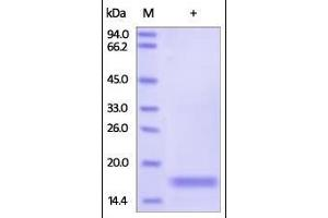 SDS-PAGE (SDS) image for Lymphotoxin-alpha (LTA) (AA 35-205) (Active) 蛋白 (ABIN2181836)