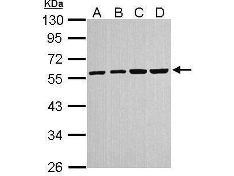 Western Blotting (WB) image for anti-TUBA4A antibody (Tubulin, alpha 4a) (ABIN2498112)