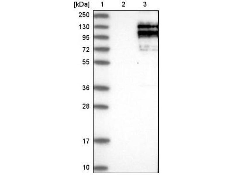 Western Blotting (WB) image for anti-Sperm Associated Antigen 5 (SPAG5) antibody (ABIN4281930)