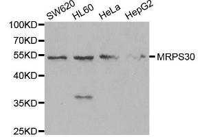 Image no. 2 for anti-Mitochondrial Ribosomal Protein S30 (MRPS30) antibody (ABIN6144043)