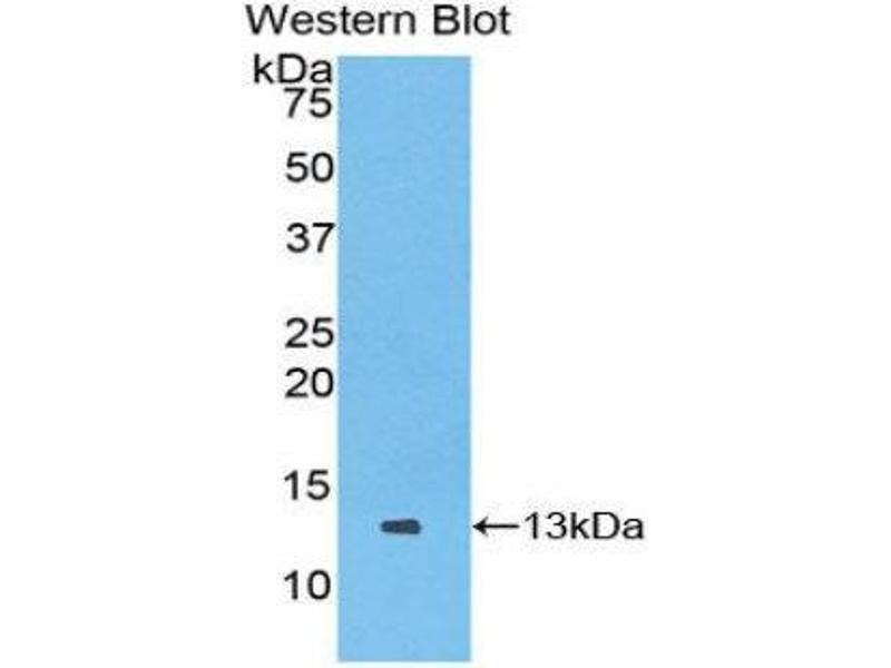 Western Blotting (WB) image for anti-Chemokine (C Motif) Ligand 1 (XCL1) (AA 27-107) antibody (ABIN1859694)