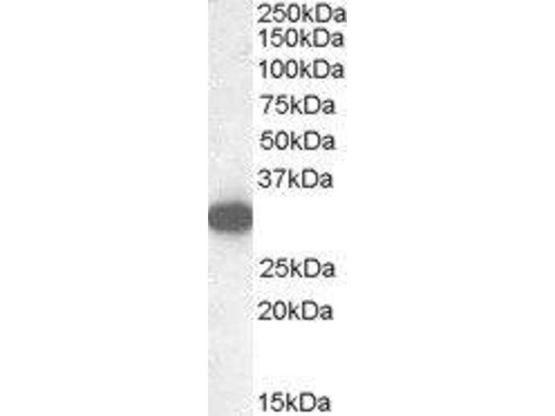 Western Blotting (WB) image for Monoglyceride Lipase (MGLL) peptide (ABIN369607)