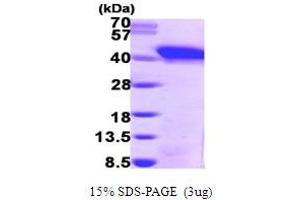 Image no. 1 for Snurportin 1 (SNUPN) (AA 1-360) protein (His tag) (ABIN667159)