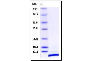 Image no. 1 for Chemokine (C-X-C Motif) Ligand 12 (CXCL12) (AA 22-93) protein (ABIN2002112)