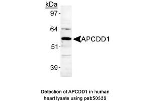 Image no. 1 for anti-Adenomatosis Polyposis Coli Down-Regulated 1 (APCDD1) (AA 400-500), (Internal Region) antibody (ABIN363645)
