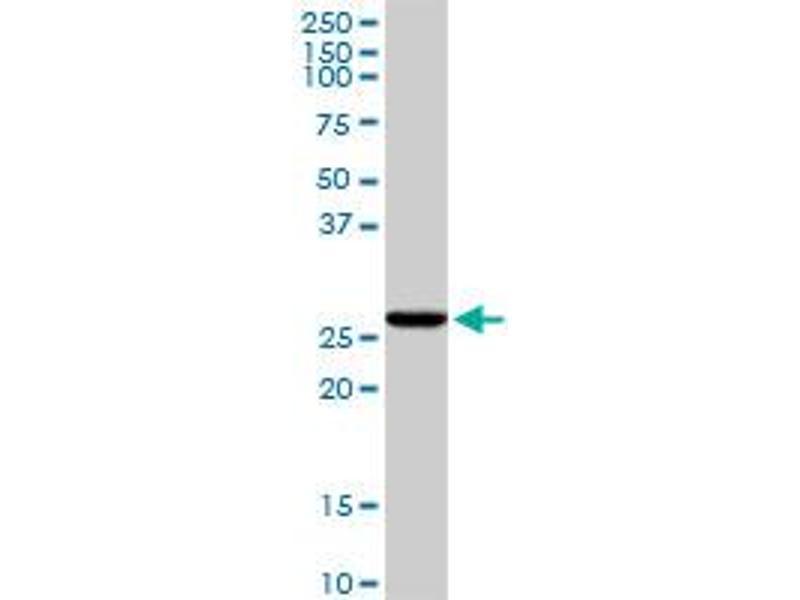 Western Blotting (WB) image for anti-Caspase 6, Apoptosis-Related Cysteine Peptidase (CASP6) (AA 1-293), (full length) antibody (ABIN514022)