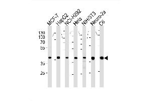 Western Blotting (WB) image for anti-Mitogen-Activated Protein Kinase 1 (MAPK1) (AA 154-183) antibody (ABIN1882240)