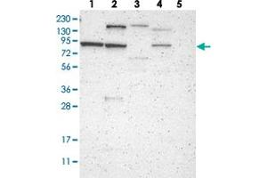 Image no. 2 for anti-Consortin, Connexin Sorting Protein (CNST) antibody (ABIN5649645)