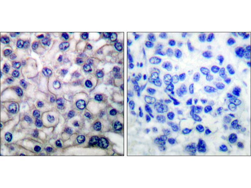 Image no. 1 for anti-Epidermal Growth Factor Receptor (EGFR) (Thr693) antibody (ABIN1576214)