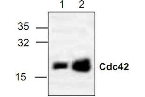 Western Blotting (WB) image for anti-Cell Division Cycle 42 (GTP Binding Protein, 25kDa) (CDC42) antibody (ABIN4296947)