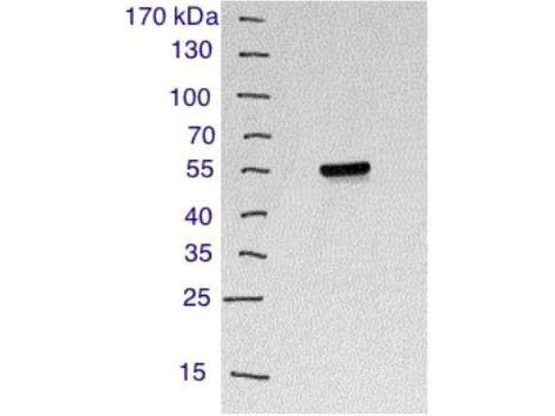 Western Blotting (WB) image for anti-CD4 Molecule (CD4) (AA 400-458), (C-Term) antibody (ABIN439030)