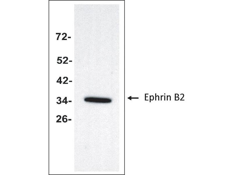 Western Blotting (WB) image for anti-Ephrin B2 antibody (EFNB2) (Extracellular Domain) (ABIN2703587)