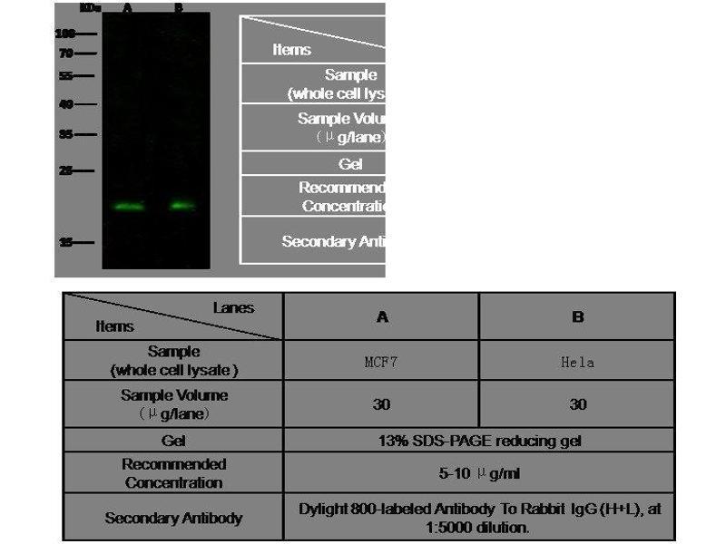 Western Blotting (WB) image for anti-RHOA antibody (Ras Homolog Gene Family, Member A) (AA 1-193) (ABIN1999717)