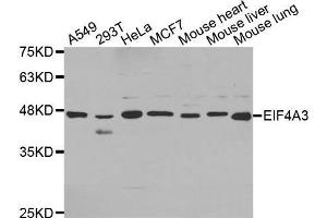 Image no. 1 for anti-Eukaryotic Translation Initiation Factor 4A3 (EIF4A3) antibody (ABIN1679696)