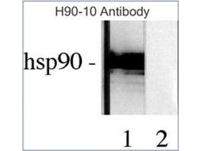 Western Blotting (WB) image for anti-Heat Shock Protein 90kDa alpha (Cytosolic), Class B Member 1 (HSP90AB1) antibody (ABIN263944)