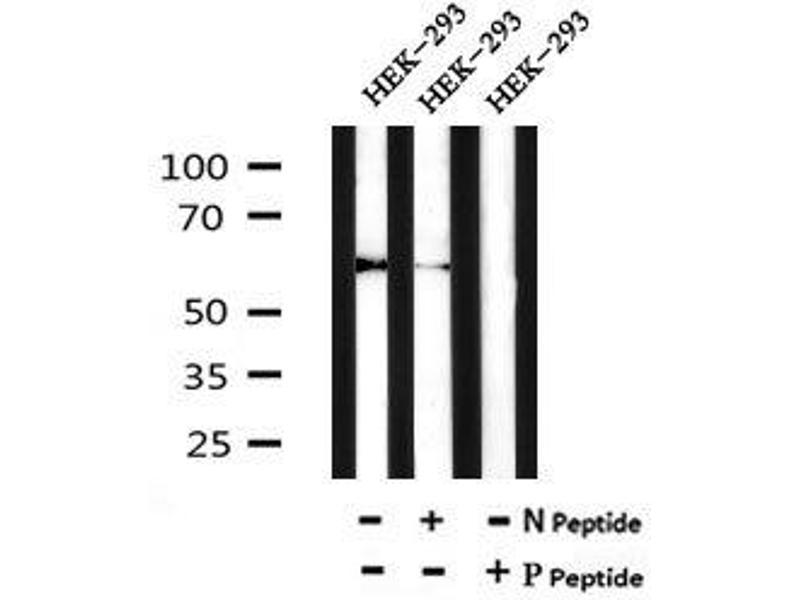 Image no. 2 for anti-Occludin (OCLN) (pTyr287) antibody (ABIN6269555)
