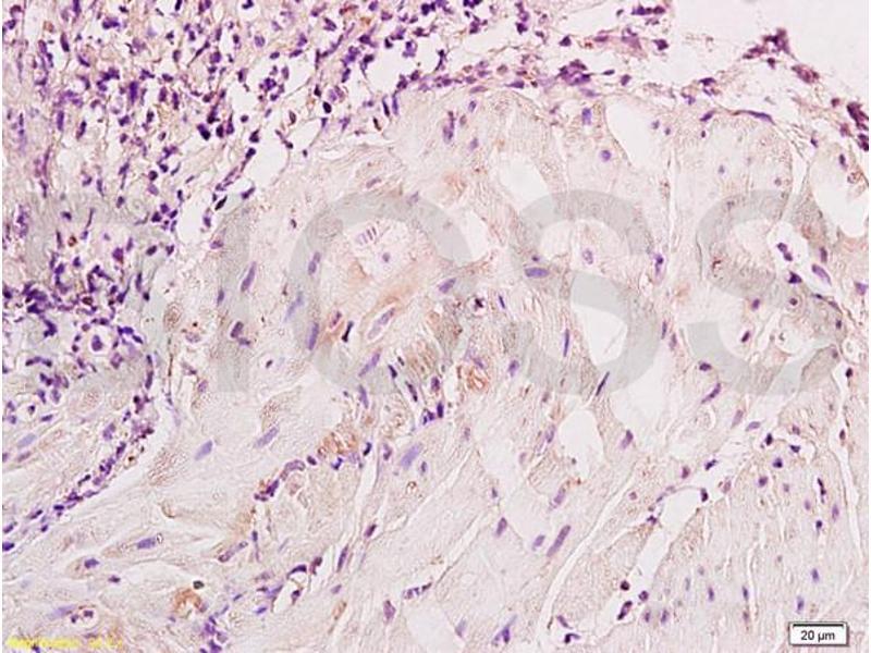 Immunohistochemistry (IHC) image for anti-Enolase 2 (Gamma, Neuronal) (ENO2) (AA 259-286) antibody (ABIN736581)