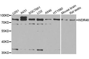 Image no. 3 for anti-WD Repeat Domain 48 (WDR48) antibody (ABIN6150198)