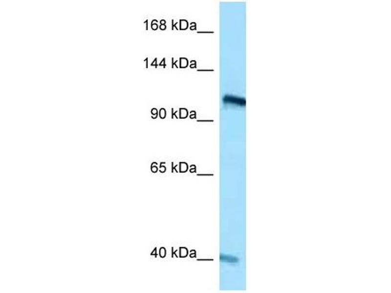 Western Blotting (WB) image for anti-Ret Proto-Oncogene (RET) (C-Term) antibody (ABIN2777172)