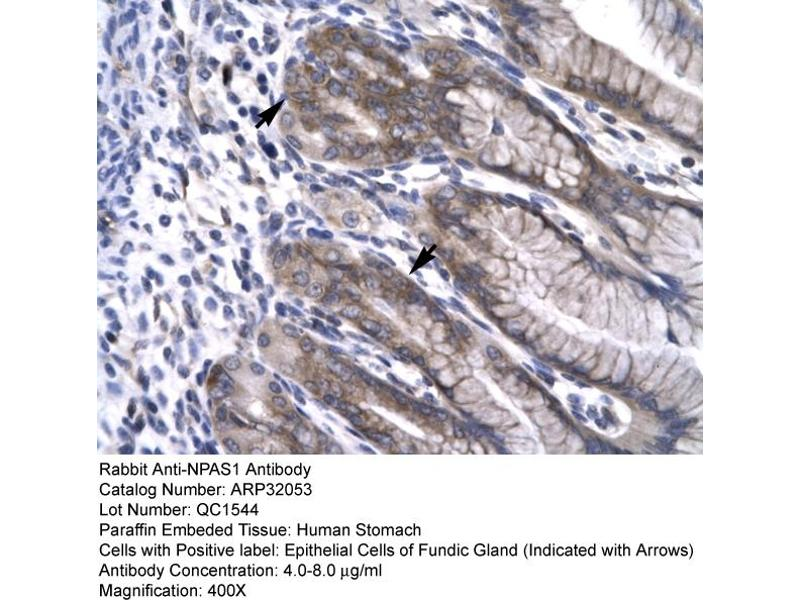 Immunohistochemistry (IHC) image for anti-Neuronal PAS Domain Protein 1 (NPAS1) (C-Term) antibody (ABIN182486)