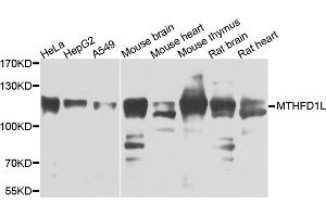 Image no. 1 for anti-Methylenetetrahydrofolate Dehydrogenase (NADP+ Dependent) 1-Like (MTHFD1L) antibody (ABIN6571490)