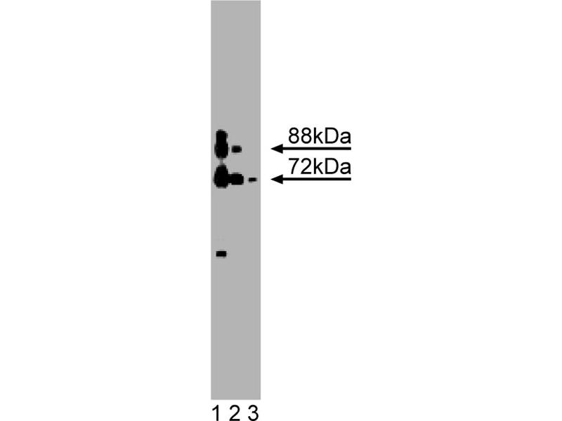 Western Blotting (WB) image for anti-Protein Arginine Methyltransferase 5 (PRMT5) (AA 423-624) antibody (ABIN968582)