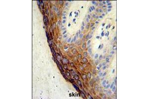 Image no. 2 for anti-Endothelin-Converting Enzyme 1 (ECE1) (AA 528-556), (C-Term) antibody (ABIN5534226)