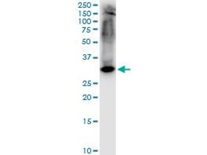 Western Blotting (WB) image for anti-Syntaxin 1A (Brain) (STX1A) (AA 1-251), (full length) antibody (ABIN563058)