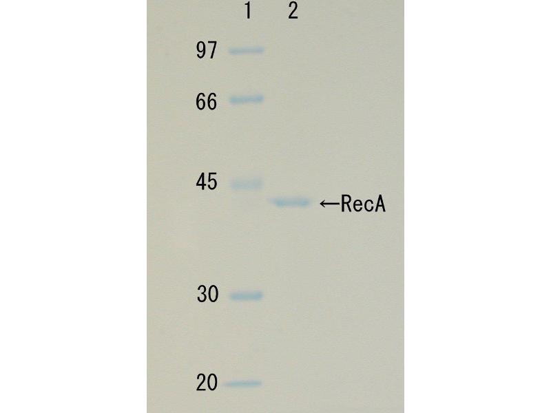 Image no. 1 for RecA (Active) protein (ABIN2452179)