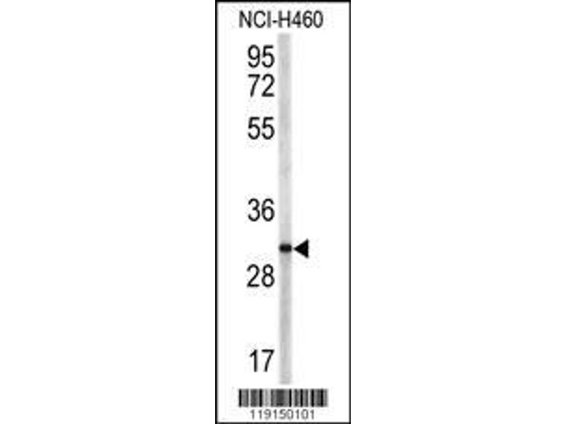 Western Blotting (WB) image for anti-CD40 Ligand antibody (CD40LG) (AA 33-62) (ABIN390458)