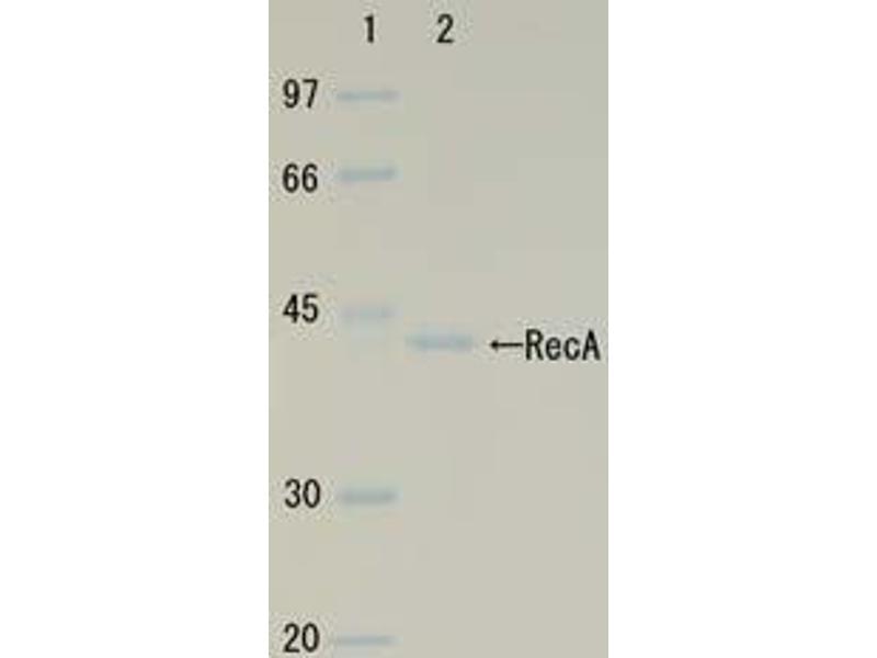 Image no. 3 for RecA (Active) protein (ABIN2452179)