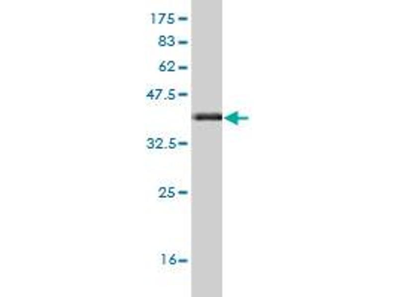 Western Blotting (WB) image for anti-Frizzled Family Receptor 3 (FZD3) (AA 55-158) antibody (ABIN395729)