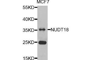 Image no. 1 for anti-Nudix (Nucleoside Diphosphate Linked Moiety X)-Type Motif 18 (NUDT18) antibody (ABIN2737272)