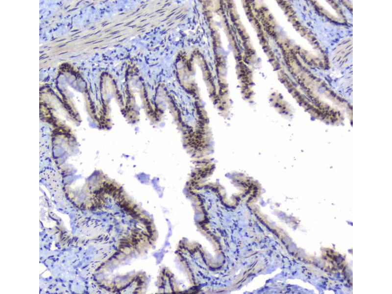 Immunohistochemistry (IHC) image for anti-Splicing Factor 1 (SF1) (AA 160-266) antibody (ABIN5692946)