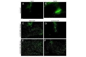 Flow Cytometry (FACS) image for anti-Green Fluorescent Protein (GFP) antibody (ABIN153226)