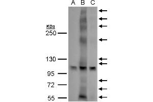Image no. 1 for anti-G Protein-Coupled Estrogen Receptor 1 (GPER) (C-Term) antibody (ABIN2857010)