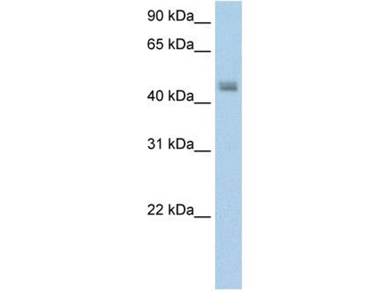 Western Blotting (WB) image for anti-Phenylalanine-tRNA Synthetase 2 (Mitochondrial) (FARS2) (N-Term) antibody (ABIN310067)