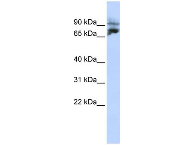 Western Blotting (WB) image for anti-Kinesin Heavy Chain Member 2A (KIF2A) (N-Term) antibody (ABIN2778183)