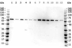 Image no. 2 for anti-Fanconi Anemia Complementation Group G (FANCG) (AA 1-12) antibody (ABIN129607)