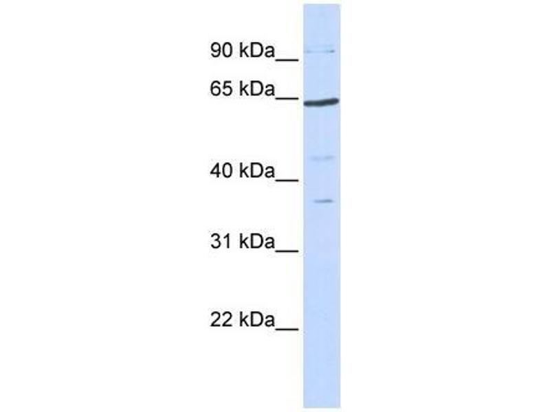 Western Blotting (WB) image for anti-TCF7L1 antibody (Transcription Factor 7-Like 1 (T-Cell Specific, HMG-Box)) (N-Term) (ABIN1109209)