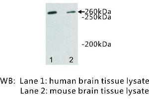 Image no. 1 for anti-Dopey Family Member 2 (DOPEY2) antibody (ABIN1112923)