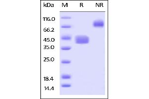 Image no. 2 for CD52 (CD52) (AA 25-36) (Active) protein (Fc Tag,AVI tag,Biotin) (ABIN5526651)