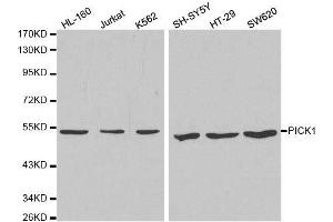 Image no. 2 for anti-Protein Interacting With Protein Kinase C, alpha 1 (PICK1) antibody (ABIN3022063)